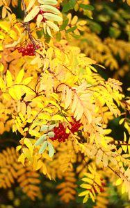 Превью обои рябина, ягоды, листья, осень, желтый, макро