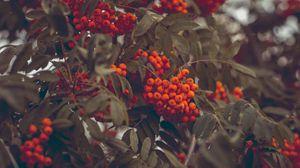 Превью обои рябина, ягоды, осень, ветки