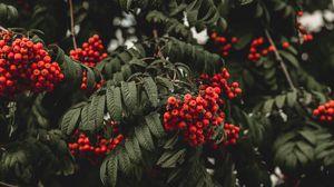 Превью обои рябина, ягоды, осень, ветка