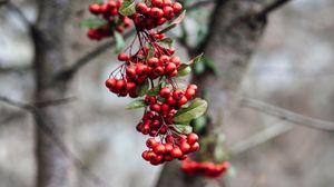 Превью обои рябина, ягоды, ветка, гроздь, красный, растение