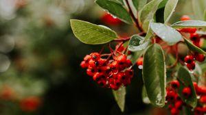Превью обои рябина, ягоды, ветки, листья, мокрый