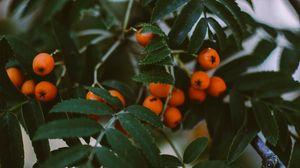 Превью обои рябина, ягоды, ветки, листья, растение
