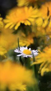 Превью обои ромашка, полевой цветок, лето, размытость