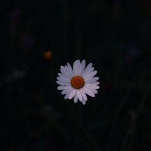 Превью обои ромашка, полевой цветок, темный фон