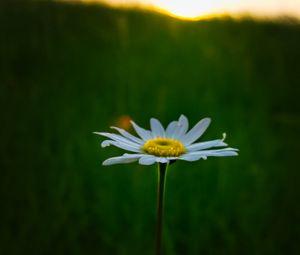 Превью обои ромашка, цветок, макро, минимализм, размытие