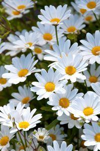 Превью обои ромашки, белые, поляна, лето, настроение