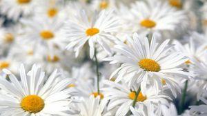 Превью обои ромашки, цветы, поле, растение