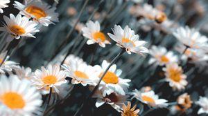 Превью обои ромашки, цветы, белый, цветение, растение
