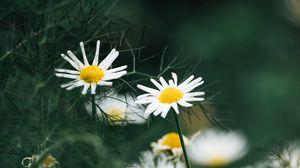 Превью обои ромашки, цветы, макро, белый, растение