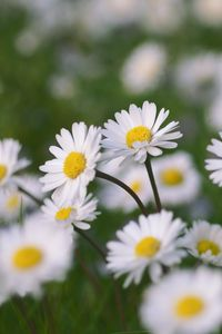 Превью обои ромашки, цветы, поле, макро