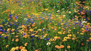 Превью обои ромашки, васильки, цветы, поляна, лето, природа