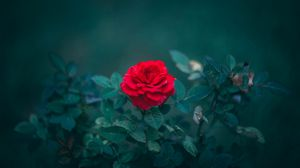 Превью обои роза, бутон, красный, куст, размытость, листья