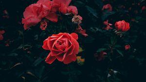 Превью обои роза, бутон, лепестки, красный, куст, сад, листья