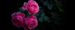 Превью обои роза, бутоны, куст, сад, розовый
