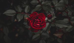 Превью обои роза, красный, цветок, бутон
