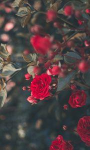 Превью обои роза, куст, цветение, садовый, красный, размытость