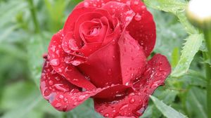 Превью обои роза, лепестки, капли