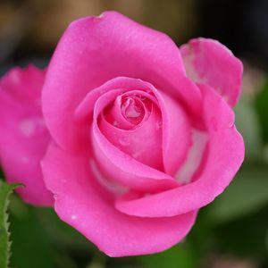 Превью обои роза, лепестки, макро, розовый