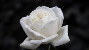 Превью обои роза, цветок, белый, чб, цветение