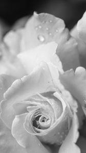 Превью обои роза, цветок, лепестки, капли, макро, черно-белый