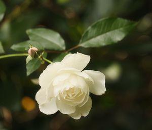 Превью обои роза, цветок, лепестки, белый, макро, размытие