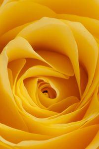Превью обои роза, желтый, бутон, лепестки, макро