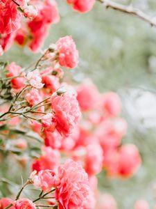 Превью обои розы, бутоны, куст, размытость, розовый