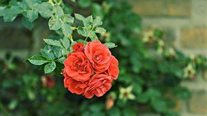 Превью обои розы, куст, бутоны, садовый, цветение