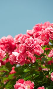 Превью обои розы, кустарник, небо, резкость, красиво