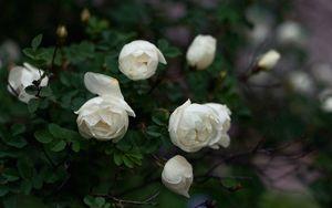 Превью обои розы, ветки, белый, лепестки, бутоны