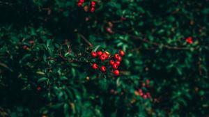 Превью обои рябина, дерево, ягоды, размытость