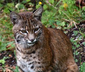 Превью обои рысь, большая кошка, животное, дикая природа