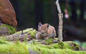 Превью обои рысь, детеныш, взгляд, большая кошка, дикая природа