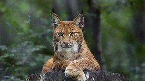Превью обои рысь, взгляд, животное, хищник, большая кошка