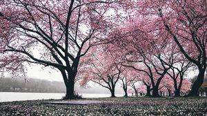 Превью обои сакура, деревья, цветение, цветы, цветущий