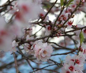 Превью обои сакура, цветы, лепестки, ветки, макро