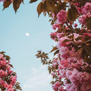 Превью обои сакура, цветы, розовый, небо, луна, цветение, весна