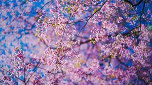 Превью обои сакура, цветы, розовый, ветки