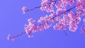 Превью обои сакура, цветы, розовый, цветение, ветки, небо