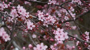 Превью обои сакура, цветы, розовый, ветки, растение