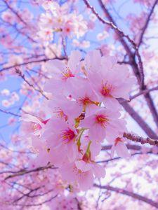 Превью обои сакура, цветы, цветение, весна, розовый