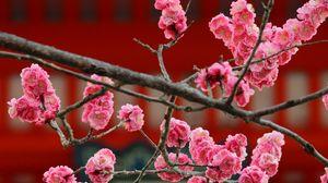 Превью обои сакура, цветы, цветение, розовый, размытость