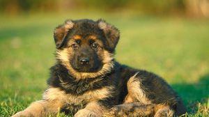 Превью обои щенок, собака, трава