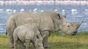 Превью обои семья, детеныш, носорог, поле