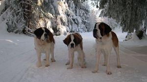 Превью обои сенбернары, семья, щенок, снег, дорога, прогулка