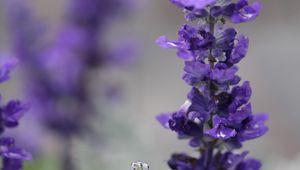 Превью обои шалфей, цветы, растение, фиолетовый, макро