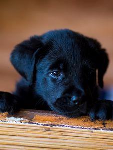 Превью обои щенок, лабрадор, ретривер, взгляд