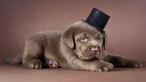 Превью обои щенок, лабрадор, шляпа, собака