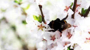Превью обои шмель, весна, цветение, ветка