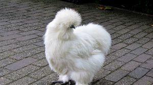 Превью обои silkie, курица, пух